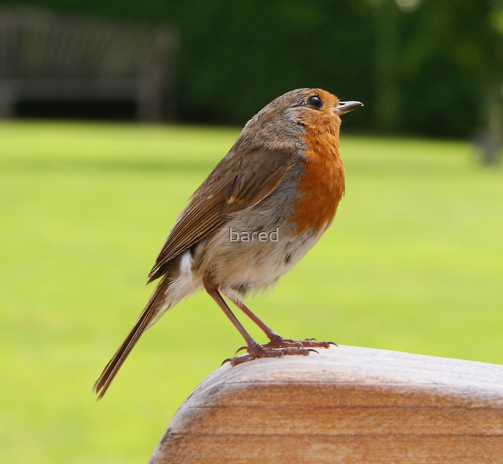 Friendly Devon Robin by bared
