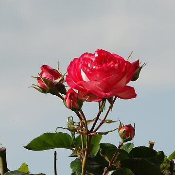 roses by goosethings