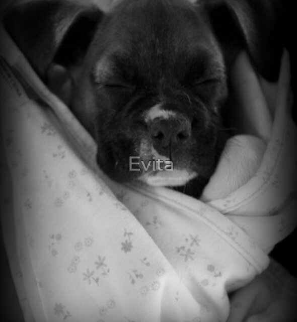 Baby Boxer - Boxer Dog Series by Evita