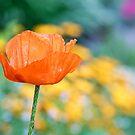 Single Orange Poppy by Kenneth Keifer