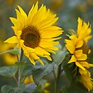 Sunflowers by Steve Chilton