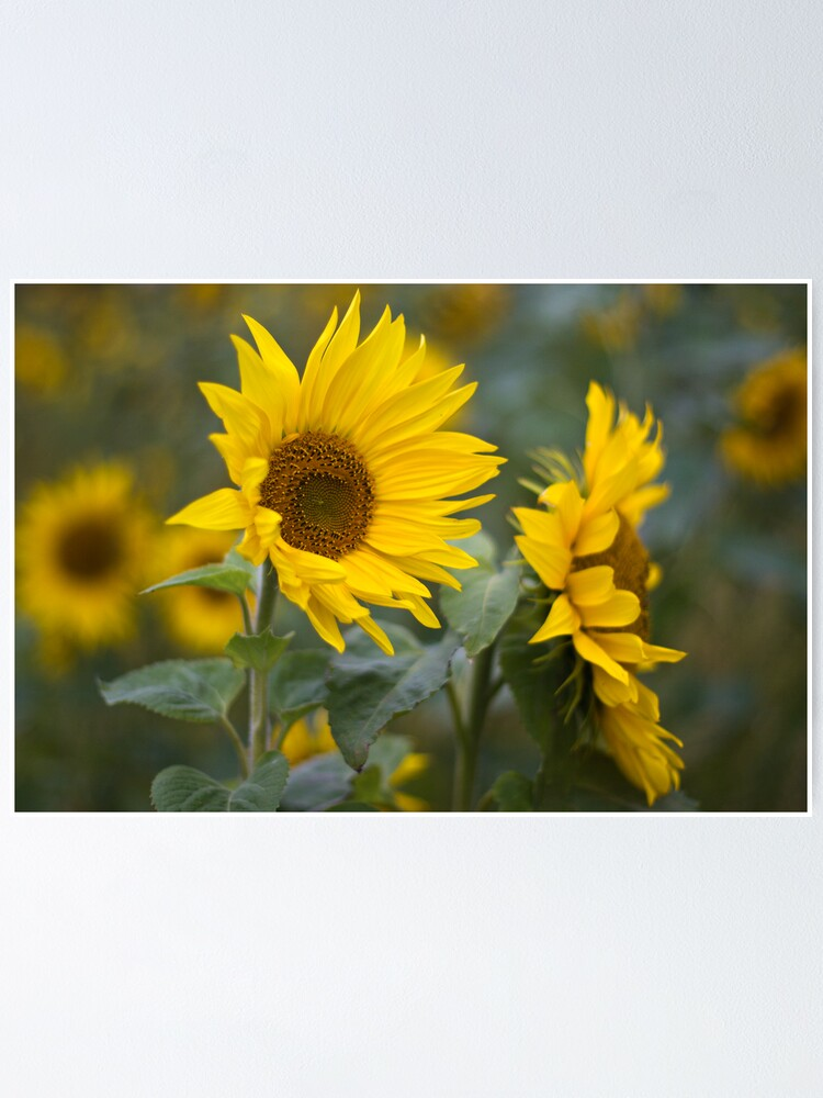 Alternate view of Sunflowers Poster
