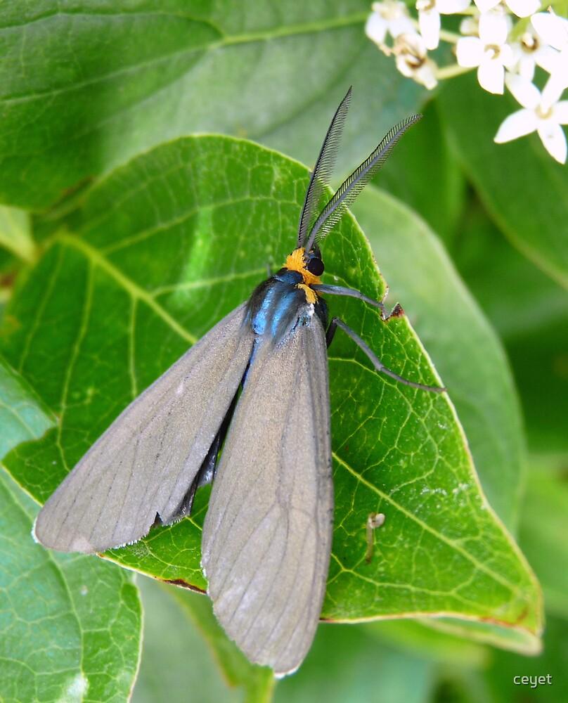 Grey moth by ceyet