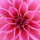 Gorgeous Pink Dahlia Flower by hurmerinta
