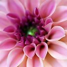 Pink Dahlia Whisper From The Garden  by hurmerinta