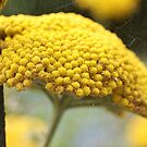Vintage Yellow Yarrow by Astrid Ewing Photography