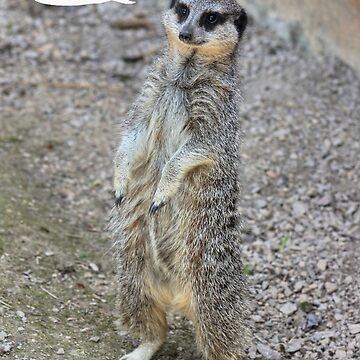 Birthday Card (Meerkat) by ViczS
