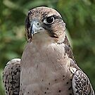 Lanner Falcon by Nancy Richard