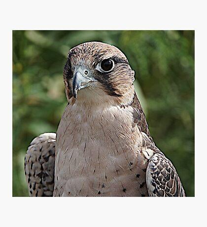 Lanner Falcon Photographic Print