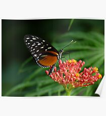 Heliconius hecale  Poster