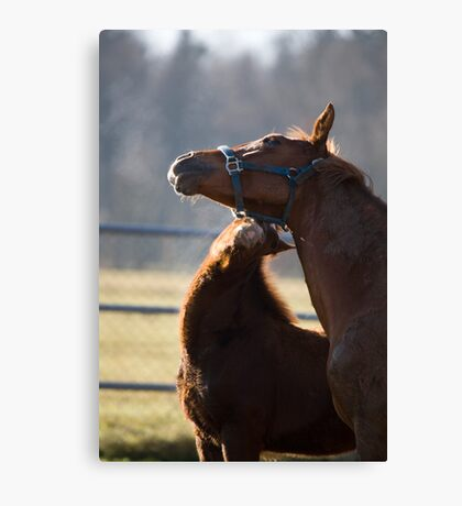 Horses, foal nuzzling mother Canvas Print