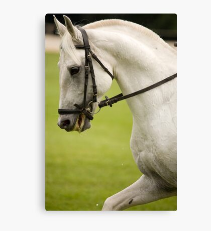 lipizanner horse in Slovenia Canvas Print