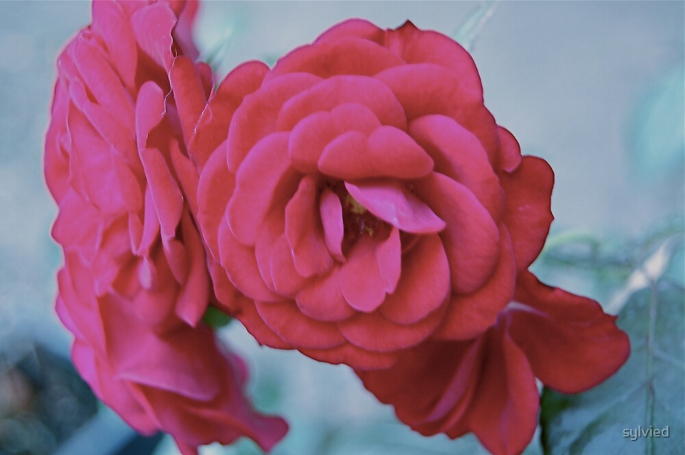 Pink Rose by sylvied