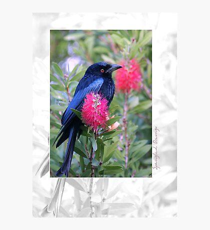 Australian Birdlife - Spangled Drongo Photographic Print