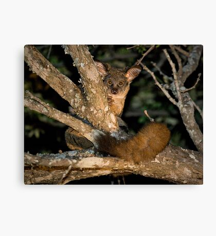 Greater Bushbaby Canvas Print