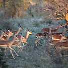 Impala Herd On the Run by Michael  Moss