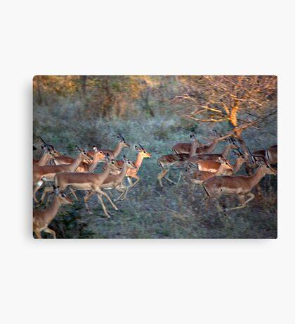 Impala Herd On the Run Canvas Print