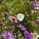 Cabbage Whites on New England Aster (Aster novae angliae) by Mike Oxley