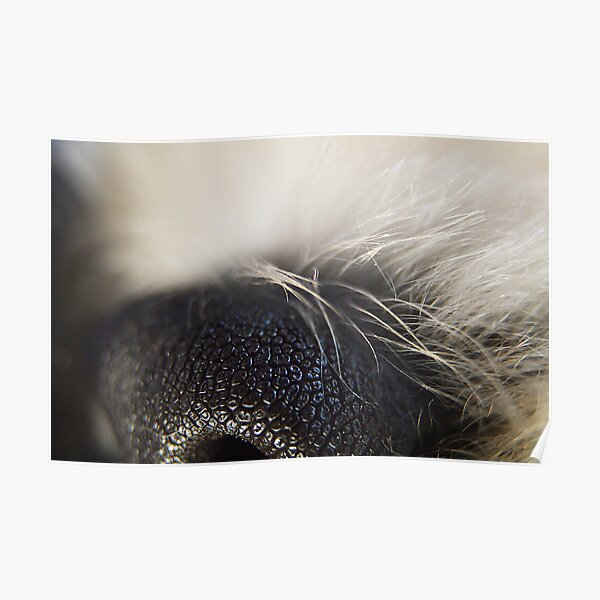 Nose on Dog Poster