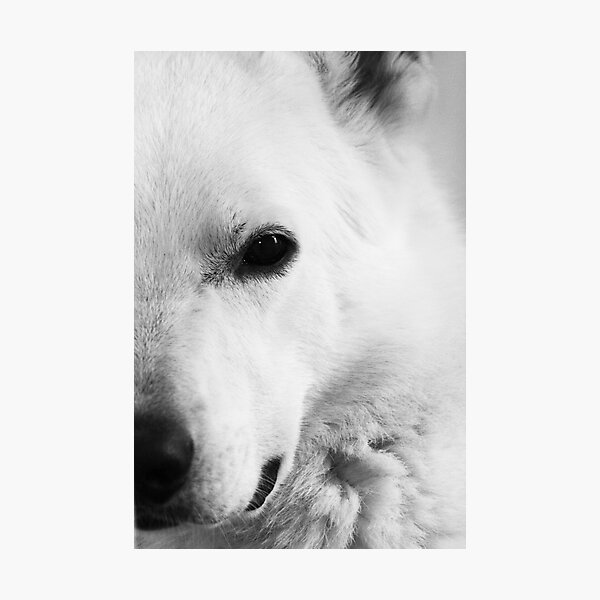 White German Shepherd Photographic Print