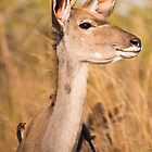 Kudu and Red Billed Oxpeckers, South Africa by Erik Schlogl