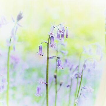 Faded bluebell by teapotore