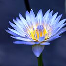 Water Lily by Jason Dymock Photography