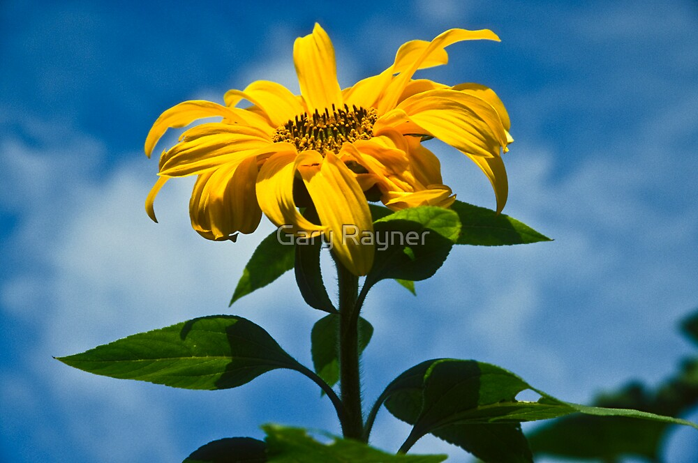 Sunflower in the Sky by Gary Rayner