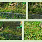 Hawfinch  Drumbeg by Alexander Mcrobbie-Munro