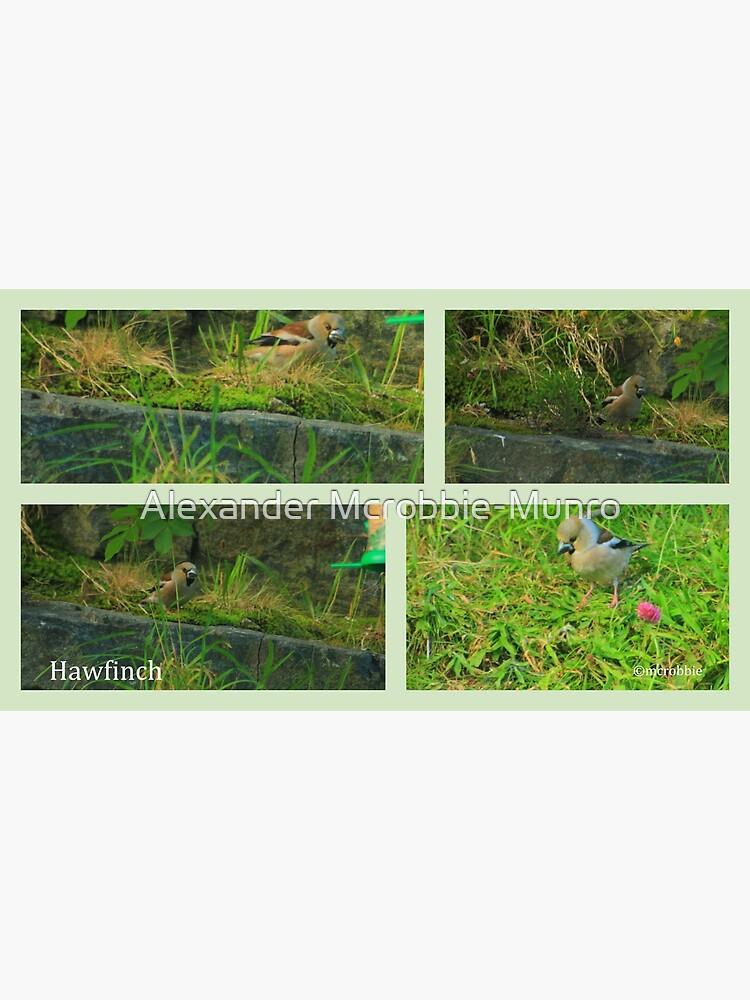 Hawfinch  Drumbeg by Alexanderargyll