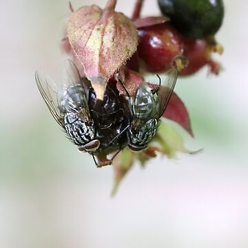 Some Berry Hungry Flies by cuprum