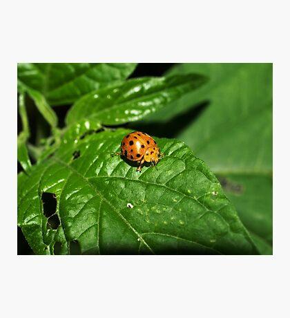 Fake Lady Beetle Photographic Print