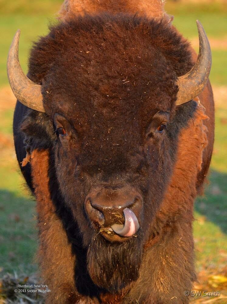 Bison Bison - American Bison   Riverhead, New York  by © Sophie W. Smith