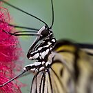 Feeding Butterfly by Michael Hadfield