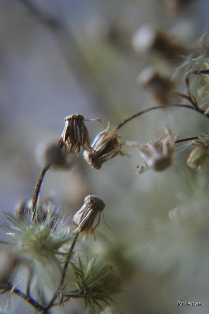 Gentle dance (from wild flowers collection)  by Antanas