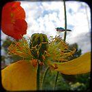 Kym's Poppies by Northcote Community  Gardens