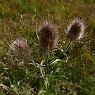 Common Teasel (Dipsacus fullonum) by IOMWildFlowers