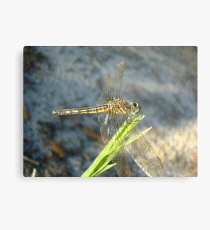 Blue Dasher on Native Grass Metal Print