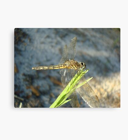 Blue Dasher on Native Grass Canvas Print