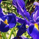 Blue Iris by Teacup