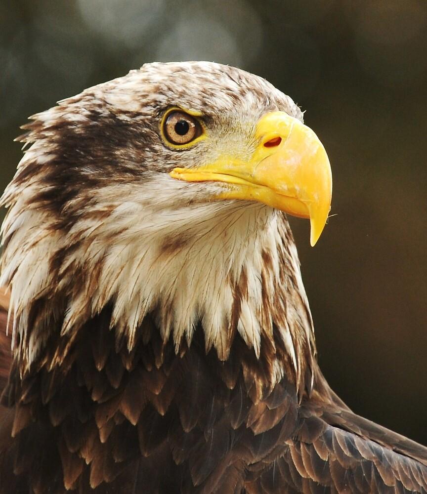 Sea eagle by Alan Mattison