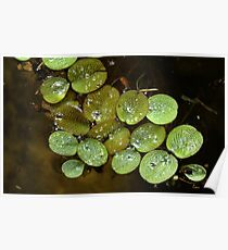 Water Spangles (Salvinia) After the Rain Poster