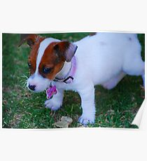 Baby Jack Russell Poster