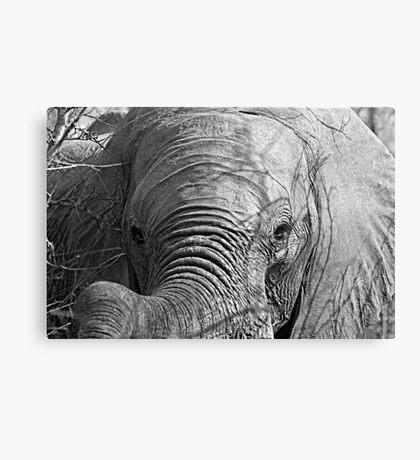 Elephant Stare Canvas Print
