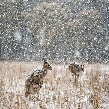 Kangaroos In The Snow by Its-Popcoin