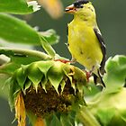 Goldfinch on sunflower by Laurie Minor