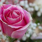 Pink Rose by MDossat