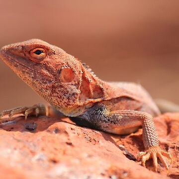 A Pilbara local by Frozigraphie