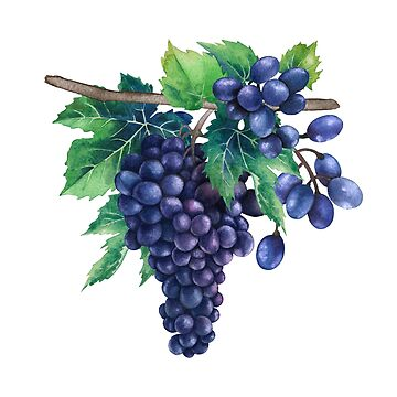 Watercolor bunches of blue grapes hanging on the branch by Glazkova
