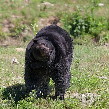 Black bear shake by darby8